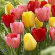 Тюльпаны Дарвина микс (луковицы, 15 шт/уп)