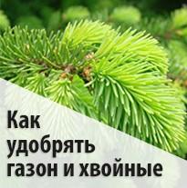 Как удобрять газон и хвойные
