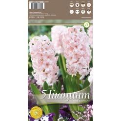 Гиацинт Pink Elephant 5 шт/уп р.15/16, каперс 108059