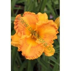 Лилейник Orange Juwel горшок С1