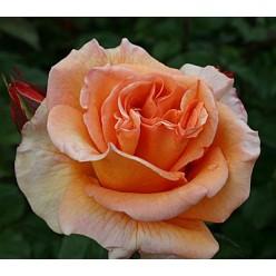 Роза Doris tysterman чайно-гибридная (саж.ЗКС) пакет Польша