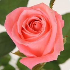 Роза Carina чайно-гибридная (саж.ЗКС) пакет Польша