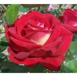 Роза Bicolette чайно-гибридная (саж. ЗКС) пакет Польша
