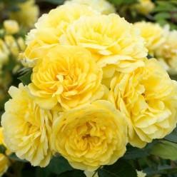 Роза Friesia флорибунда (саж. ЗКС) пакет Польша