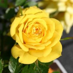 Роза Gold yuvel миниатюрная (саж. ЗКС) пакет Польша