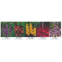 Гладиолус Крупноцветковый 12/14 (Violetta, Chocolate, Flevo Eclips, Cardinal, Passos)