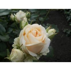 "Роза Аваланш Пич  чайно-гибридная (саж. ЗКС) ""Monteаgro"" коробка 1.118"