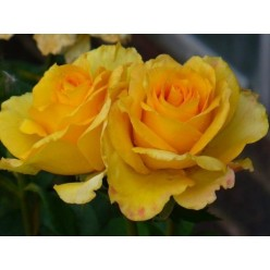 "Роза штамбовая Голден Медальон ""Monteаgro"" 8.88"