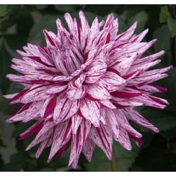 Георгина Блэкберри Риппл Кактусовая Бело-фиолетовая размер 1 (луковица, 1 штука/упаковка)