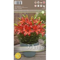 Лилия FantAsiatic Red р.12-14 3шт/уп луковица New