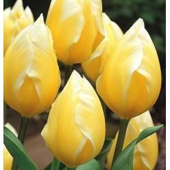 """Тюльпан """"Свит Хат"""" гибрид Фостера (луковица, 4 шт/упак)"""