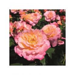 Роза Акварель чайно-гибридная (саж. ЗКС) каперс