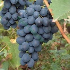 Виноград Alden горшок С2 (саженец)