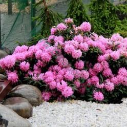 Рододендрон Roseum Elegans Co2