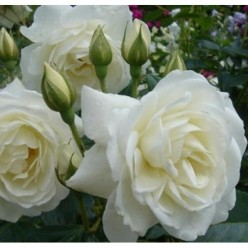 Роза Камелия плетистая (саж. ЗКС) каперс
