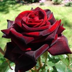 Роза Блэк Мэджик чайно-гибридная (саж. ЗКС) каперс