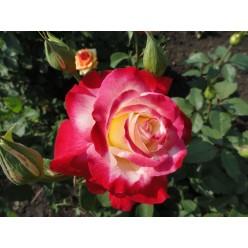 Роза Дабл Делайт чайно-гибридная (саж. ЗКС) каперс
