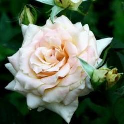 Роза Ванилла чайно-гибридная  (саж. ЗКС) каперс