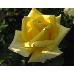 Роза Беролина чайно-гибридная (саж. ЗКС) каперс