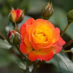 Роза Румба флорибунда (саж. ЗКС) каперс
