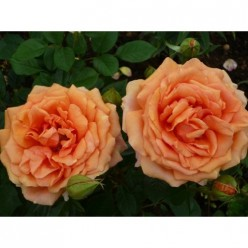Роза Ашрам чайно-гибридная (саж. ЗКС) каперс