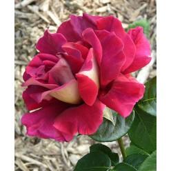 Роза Кроненбург чайно-гибридная С3