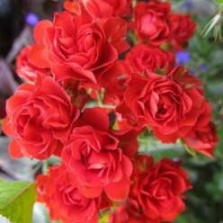 "Роза  ""Скарлет"" С3 (саженец)"
