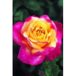 Роза Ориент Экспресс чайно-гибридная С3