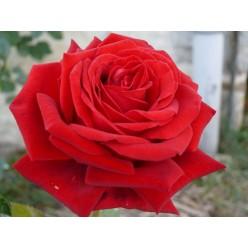 Роза Ботеро чайно-гибридная С3