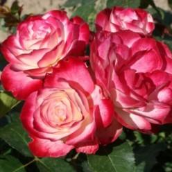 "Роза Юбилей дю Принц де Монако флорибунда (саж. ЗКС) ""Monteаgro"" коробка 2.55"