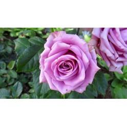 "Роза Кул Ватер чайно-гибридная (саж. ЗКС) ""Monteаgro"" коробка 1.106"