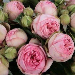 "Роза Charming Piano Tantau чайно-гибридная  (саж. ЗКС) коробка Сербия ""БТ"""
