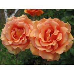 Роза  Ашрам  чайно-гибридная С3