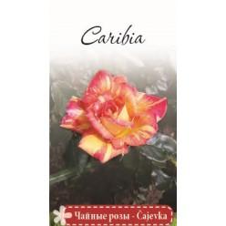 """Роза Caribia чайно-гибридная  (саж. ЗКС)  коробка Сербия """"RI"""""""
