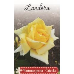 Роза Ландора чайно-гибр.  (саж. ЗКС)  коробка Сербия
