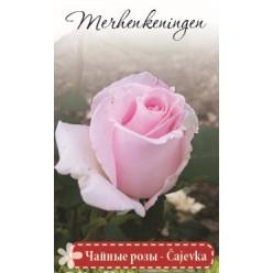 Роза Монтебелло почвопокровная  (саж. ЗКС)  коробка
