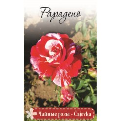 Роза Папагено чайно-гибр. (саж. ЗКС)  коробка Сербия