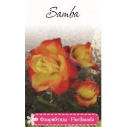 Роза Самба флорибунда (саж. ЗКС)  коробка