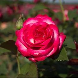 """Роза Fair Lady чайно-гибридная (саж. ЗКС)  коробка Сербия """"RI"""""""