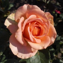 Роза Мондиаль чайно-гибр.  (саж. ЗКС)