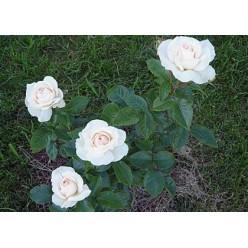 Роза Пьюдойче чайно-гибридная С3