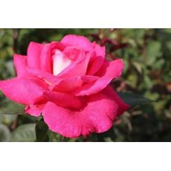 Роза Akapella чайно-гибридная горшок С3