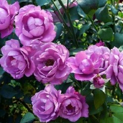 Роза Deutche Welle флорибунда горшок С3