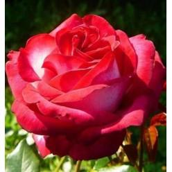 Роза Fair Lady чайно-гибридная горшок С3
