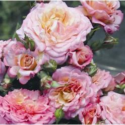 Роза Country Girl Tantau флорибунда горшок С3