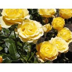 Роза Casino плетистая С3