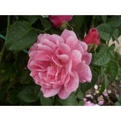Роза Camelot Tantau рамблер/плетиcтая C3