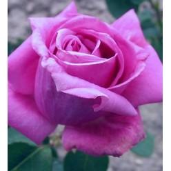Роза Eminence чайно-гибридная  C3