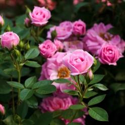 Роза Bella Symphony миниатюрная горшок С3